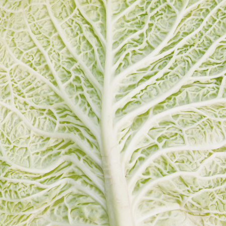 savoy: Natural green background. Savoy cabbage leaf texture Stock Photo