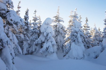 swept: Snow covered spruces. Winter forest. Ural landscape Stock Photo