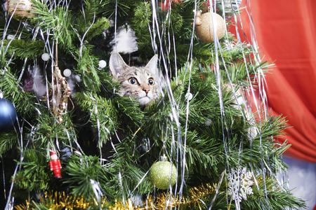 new year cat: Cat on Christmas tree. Naughty cute kitten. New Year Stock Photo