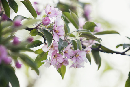 blooming apple tree. Pink delicate flowers and buds Stock Photo