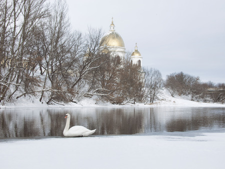 cna: White swan wintering on the Tsna river in Morshansk