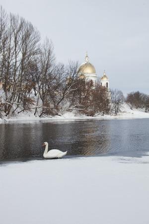 cna: Invernar cisne blanco en el río Tsna en Morshansk Foto de archivo