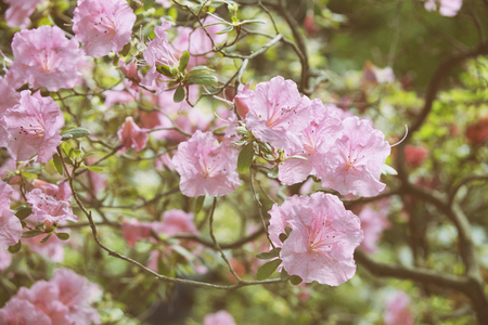 Rhododendron pink flowers blooming bush spring nature stock photo rhododendron pink flowers blooming bush spring nature stock photo 75994274 mightylinksfo
