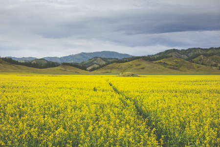 Flowering rapeseed field. Yellow flowers. Mountain Altai landscape Stock Photo