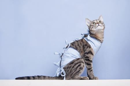 Postoperative bandage on a cat. Care of a pet after a cavitary operation (castration, sterilization) Imagens - 78668234