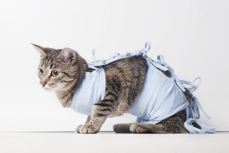 猫の術後の包帯。(去勢、滅菌) 空洞操作後のペットの世話 写真素材