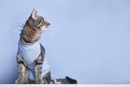 Postoperative bandage on a cat. Care of a pet after a cavitary operation (castration, sterilization)