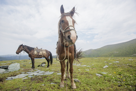 Harnessed horses in the highland of Altai mountains.