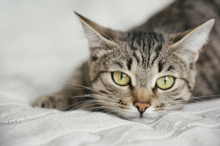 Tabby cute cat lies on white knitted background Stock Photo