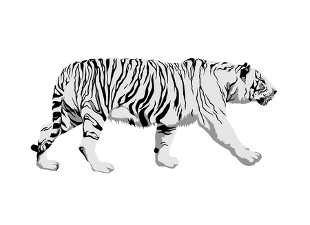 White tiger on white background. Side view vector illustration