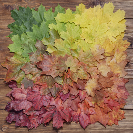red carpet background: Gradient of multicolored fall maple leaves. Autumn background