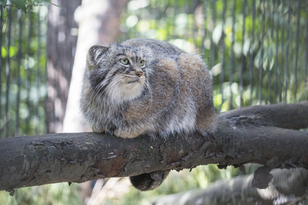 Manul cat in a cage in the zoo. Wild animal Stock Photo