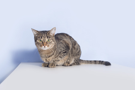 Tabby cat sits on the table. Blue background Stock Photo
