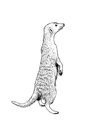 Standing meerkat (surikat). Vector hand drawn illustration