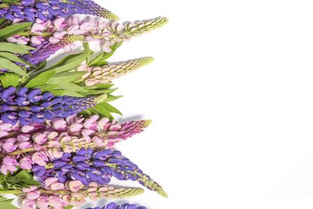 Witte achtergrond met roze en violette lupinebloemen