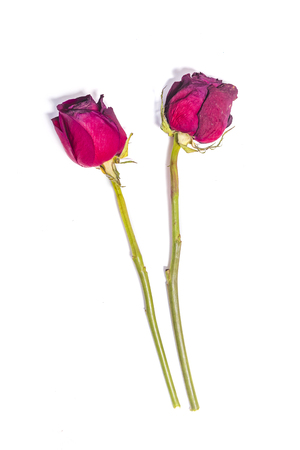 Two dried red roses isolated on white background