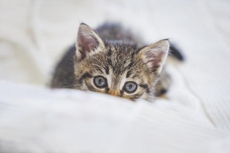 Playful cute tabby kitten hiding behind a blanket