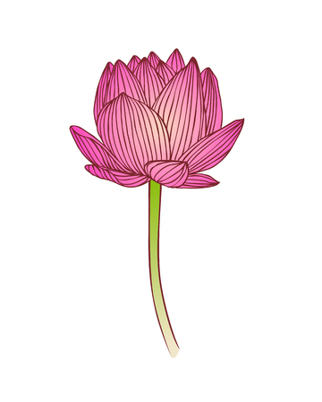 Pink lotus flower. Water lily vector illustration