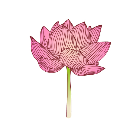 Pink Water lily flower. Lotus vector illustration 向量圖像