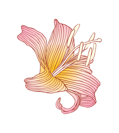 Pink royal lily on white background. Vector illustration