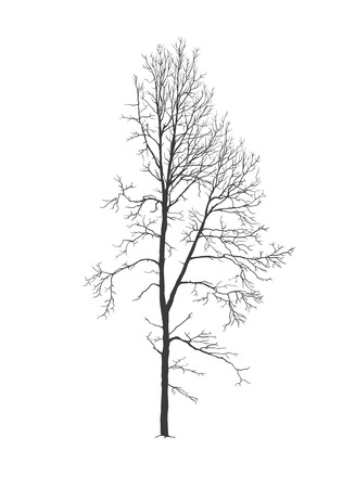 Aspen tree realistic vector silhouette without foliage