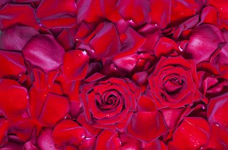 Natürlicher Hintergrund von frischen roten Rosenblättern