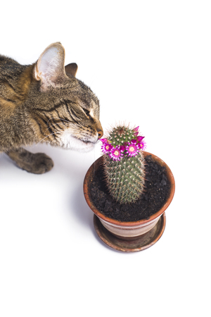 bully tabby cat sniffing flowering cactus flower Imagens