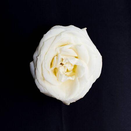 White fresh rose flower on black background