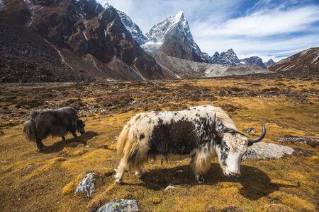 Yak graze in the Himalayan mountains of Nepal, Sagarmatha National Park