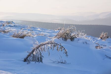 Trees on Northern Ural mountains, Komi Republic, Russian landscape