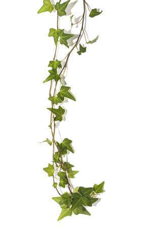 White background with a green ivy sprig