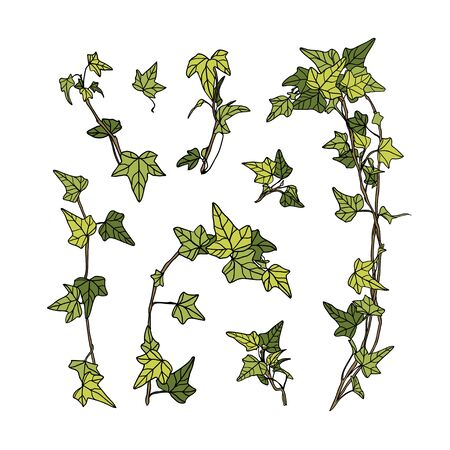 Set of vector ivy leaves on white background