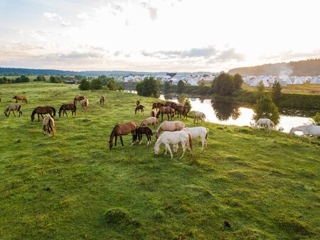 Akhal-Teke horse breed herds grazes in a meadow in the Tver region. Russia