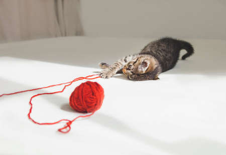 Kitten plays with tangle of red thread