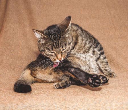 Tabby cat licks fur on brown background Stock fotó