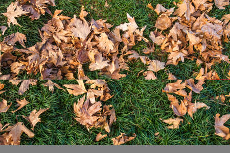 Autumn background, fallen sycamore tree leaves on green grass