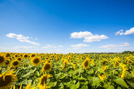 Blooming yellow sunflowers field. Summer nature landscape 版權商用圖片