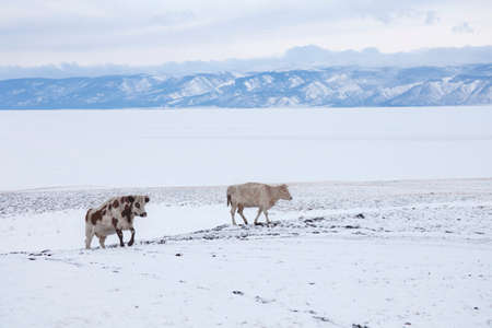 Cows on the shore of Lake Baikal. Winter landscape, Russia
