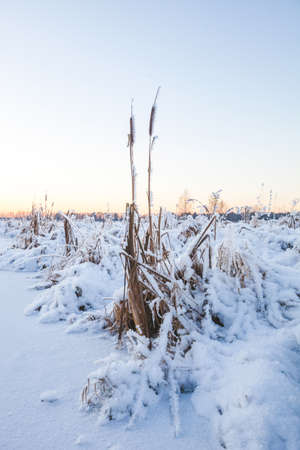 Frozen cattail on the river bank. Winter in Russia