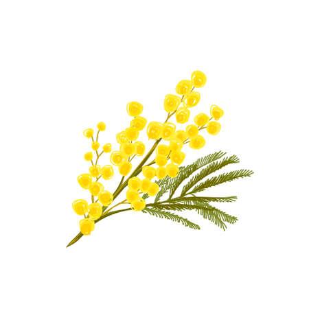 silver acacia or mimosa yellow flower. Vector illustration