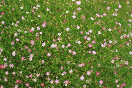 repens: gypsophila repens, flower in thailand Stock Photo