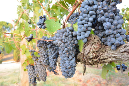 Red grape bunch, harvest time, Stock Photo