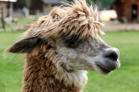 babies: alpaca and llama with funny hairstyle