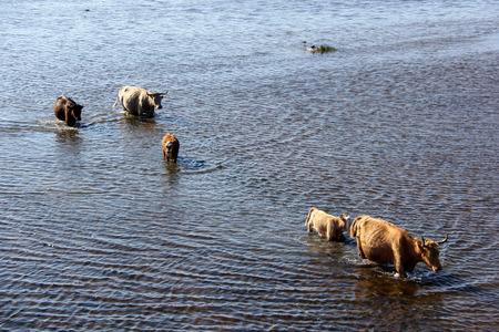 Wild cows swim by the Engure lake, the Latvian blue cows, Nature Park - Engures Ezers