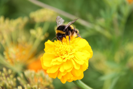 bee bumblebee drink nectar on tagetes marigolds flowers Stock Photo