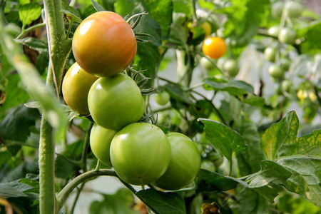 tomate de arbol: Tomatoes in the garden,Vegetable garden with plants of red tomatoes. Ripe tomatoes on a vine, growing on a garden. Red tomatoes growing on a branch.