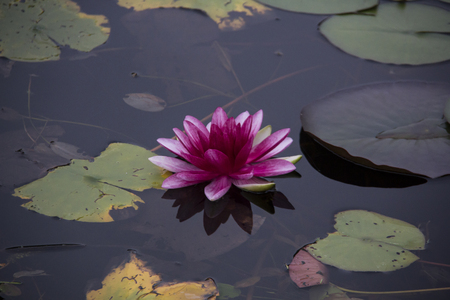 Pink beautiful waterlily in green pond. Nature image