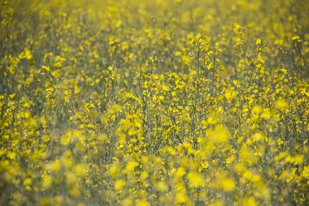 Rapeseed field. Background of rape blossoms. Flowering rape on the field. sunny summer day. Reklamní fotografie