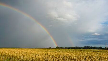 Rainbow Above Wheat Field. Flight Down Ripe Crop Field After Rain and Colorfull Rainbow in Background Rural Countryside. Aereal Dron Shoot.