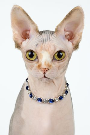 cat - the Canadian sphynx on a neutral background Banque d'images